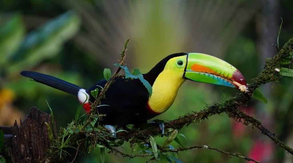 Tucano foresta pluviale costa rica