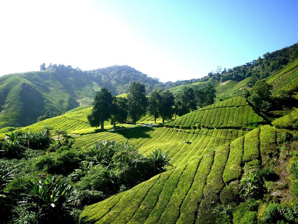 viaggi in malesia piantagioni di tè